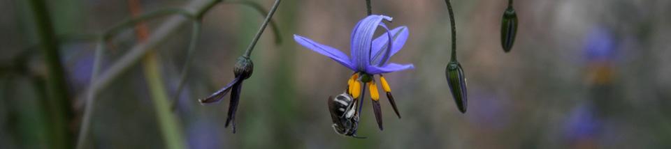 Blue-banded-bee-on-Dianella-admixta