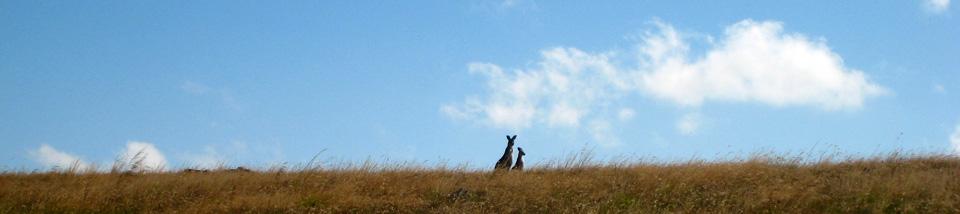 Kangaroos-in-grassland