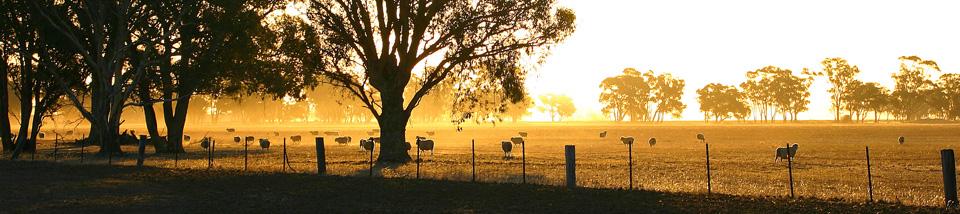 Sheep-in-sunset