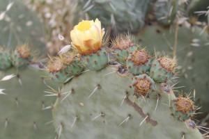 Wheel Cactus Flower