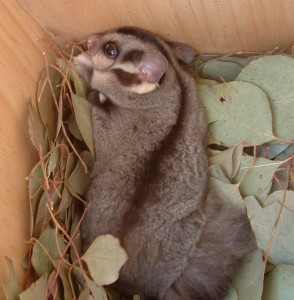 Sugar Glider in nestbox by J Blackney TFN