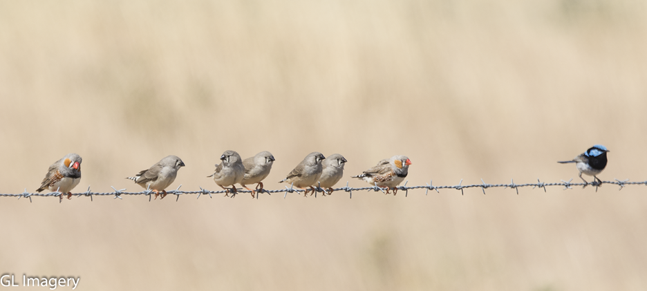 Zebra Finches and Superb Fairy Wren