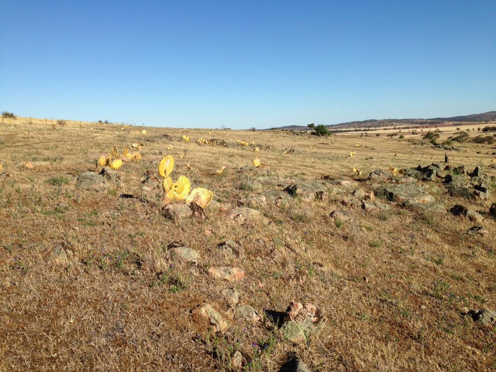 Mt Buckra dead cactus