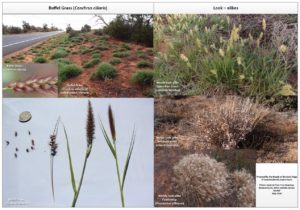 buffel-grass-identification